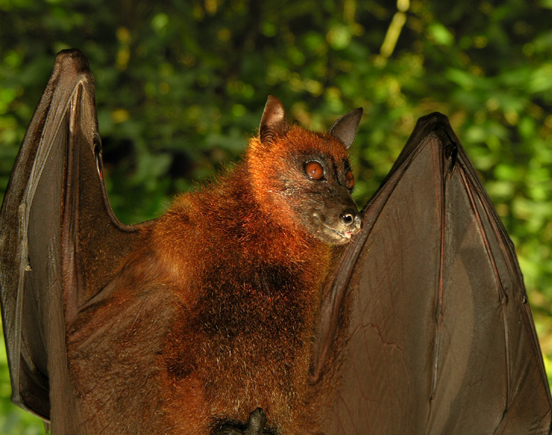394. Giant Fruit Bat
