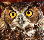 Title: Close Enough? Great Horned Owl