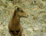 Title: Mountain Sheep