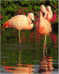 Title: Chilean Flamingo - shades of pink