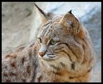 Title: Lynx canadensis