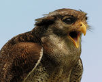 Title: Eagle or Owl? Bubo sumatranus