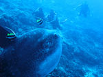 Title: Divers and Giant Sunfish