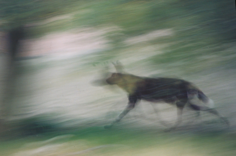 Werewolf running away