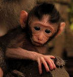 Title: 390. Wild baby macaque
