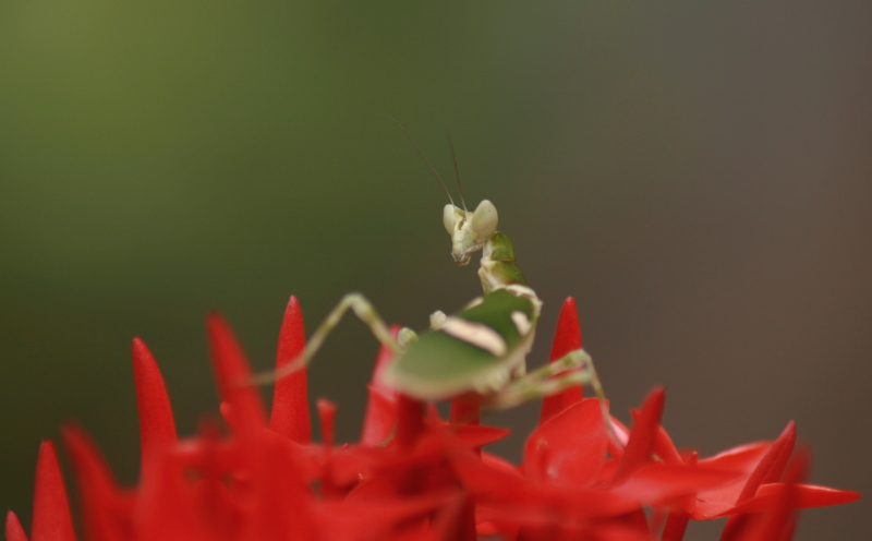 Praying Mantis-2