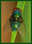 Title: Blue Green Fly