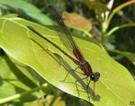 Title: Red Damselfly