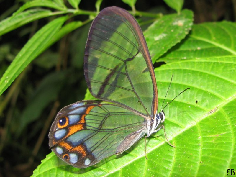 Clearwing butterfly
