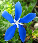 Title: Spring Gentian