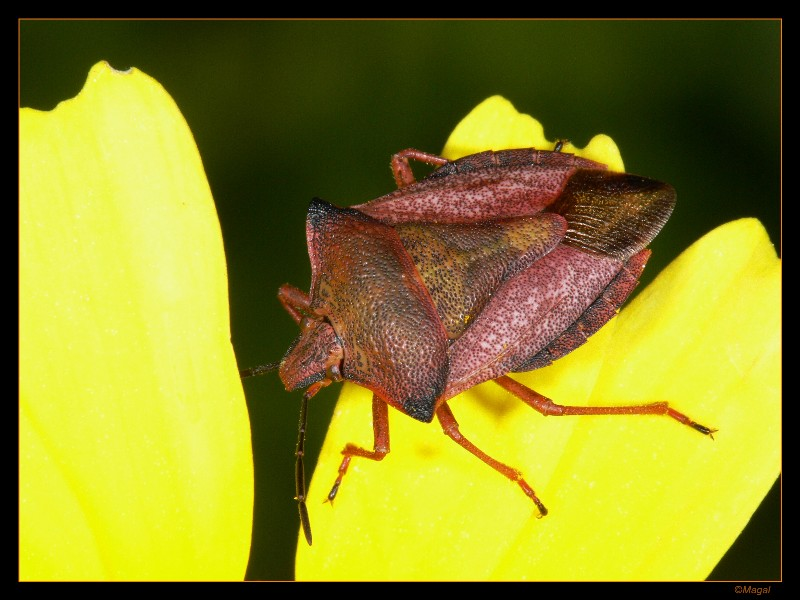 shield bug - ID not sure