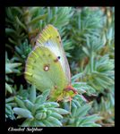 Title: Clouded Yellow
