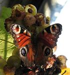 Title: inachis io feeding on grapes