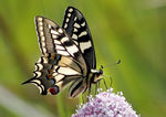 Title: English Swallowtail