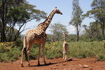 Title: 2 Girafe walking