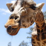 Title: Girafe Wants A Kiss