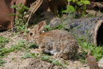 Title: Brown Hare (Lepus europaeus)