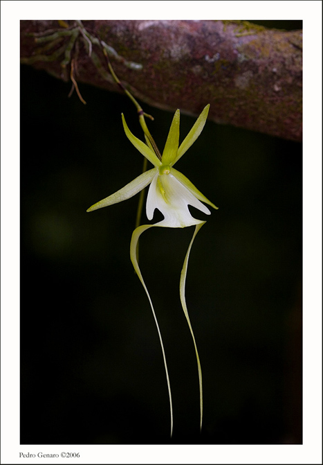 Sapito or ghost orchid