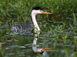 Title: Grebe Reflection