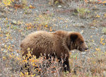 Title: Grizzly cub