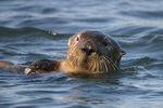 Title: Clever  Sea Otter