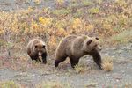 Title: Grizzly  Sow and Cub