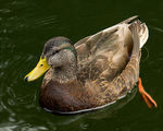 Title: American Black Duck Male