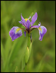 Title: Blue Flag or Wild Iris Camera: Canon 20D