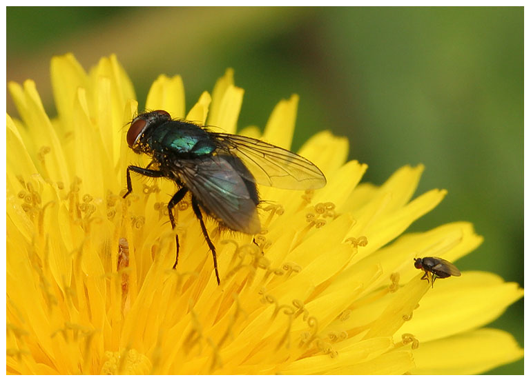 The Bottle Fly and Black Fly