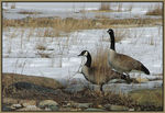 Title: Canada Geese