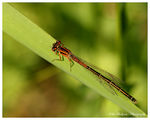 Title: Immature Female Eastern Forktail