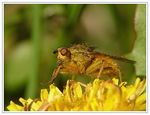 Title: A Dungfly on a dandelion