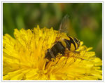 Title: Syrphid Fly