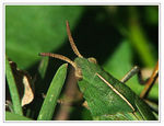 Title: A Green Hopper