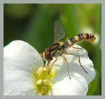 Title: A Hoverfly on flower
