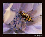 Title: Toxomerus Hoverfly