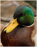 Title: A Handsome Mallard Portrait