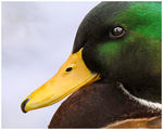 Title: Mallard Duck, Close-up