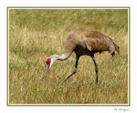 Title: Sandhill Crane, Summer colors