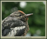 Title: Yellow-bellied Sapsucker chick