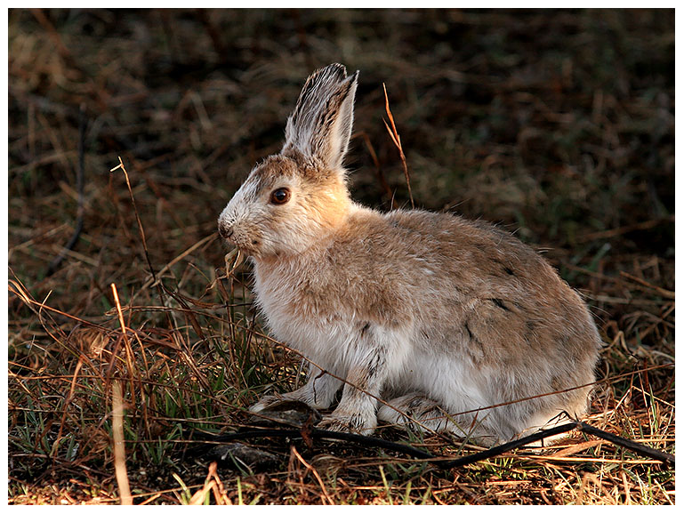 The Snowshoe Hare, for Anna-Lu