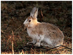 Title: The Snowshoe Hare, for Anna-Lu
