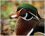 Title: Wood Duck Drake Portrait