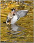Title: A Wood Duck Stretch