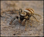 Title: Zebra Jumping Spider, posing