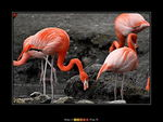 Title: Flamant rose