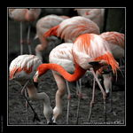 Title: Flamingoes