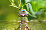 Title: Dragon Fly on Lemon Tree