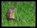 Title: One upon a time a young song sparrow...