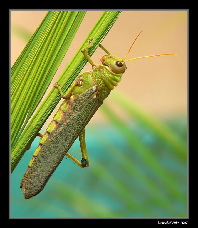 The biggest grasshopper on earth!